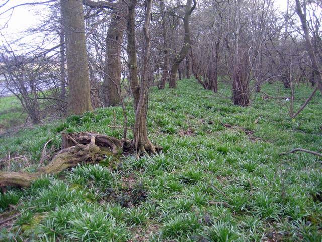 A photograph of a forest, the floor of which is covered with small plants. A slight raised ridge can be seen, continuing into the distance.